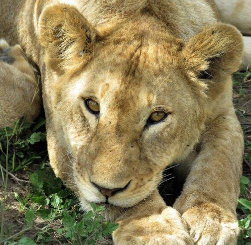 Tanzania Safari Lion