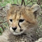Tanzania Safari Cheetah