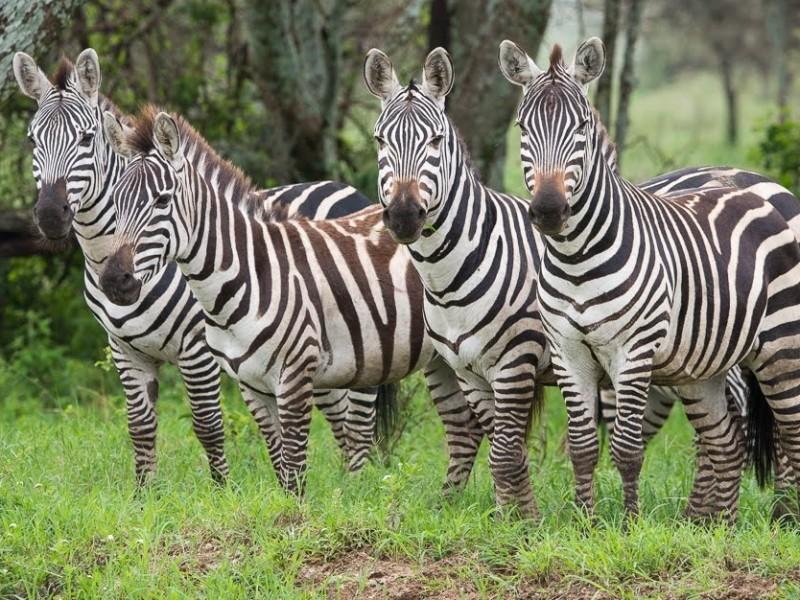Familiereis Tanzania Zanzibar Safari Zebra