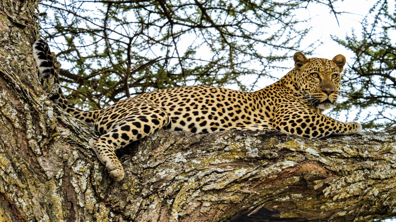Luipaard Tanzania