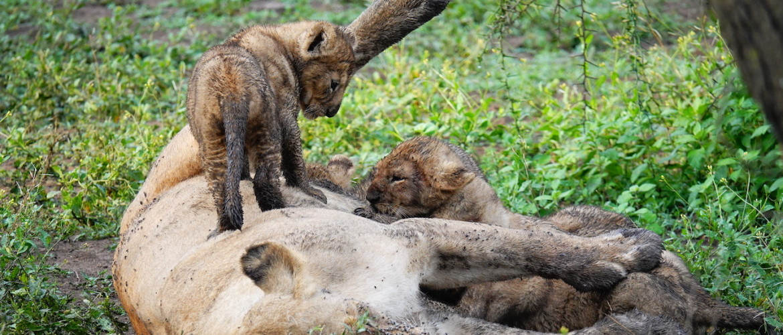 Wat kost een safari in Tanzania?