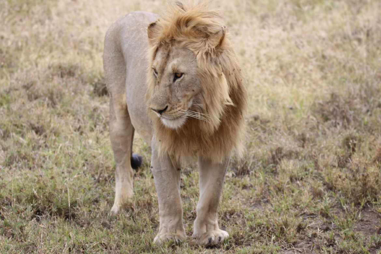 wildlife Tanzania | Leeuw