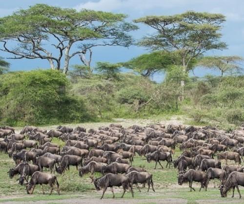 Tanzania Migratie Serengeti Migratie