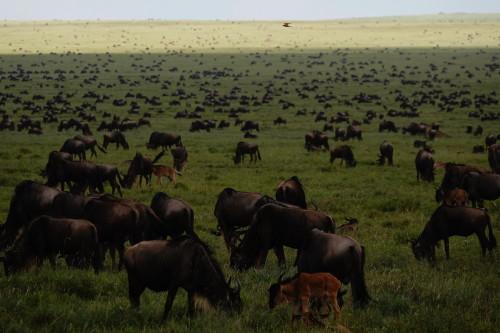 Safari Tanzania Serengeti Migratie Calving Seasons