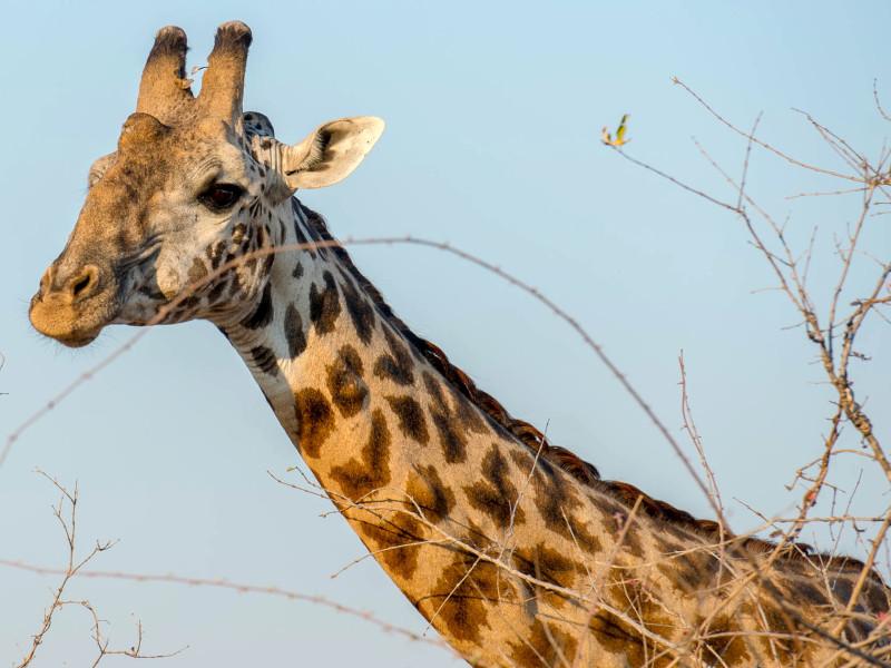 Safari Tanzania Giraffe