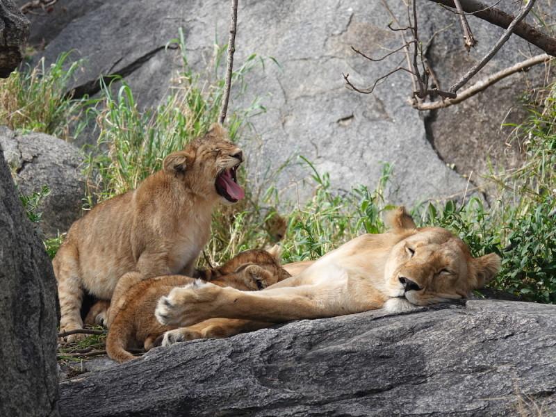 Safari Tanzania Serengeti Leeuw