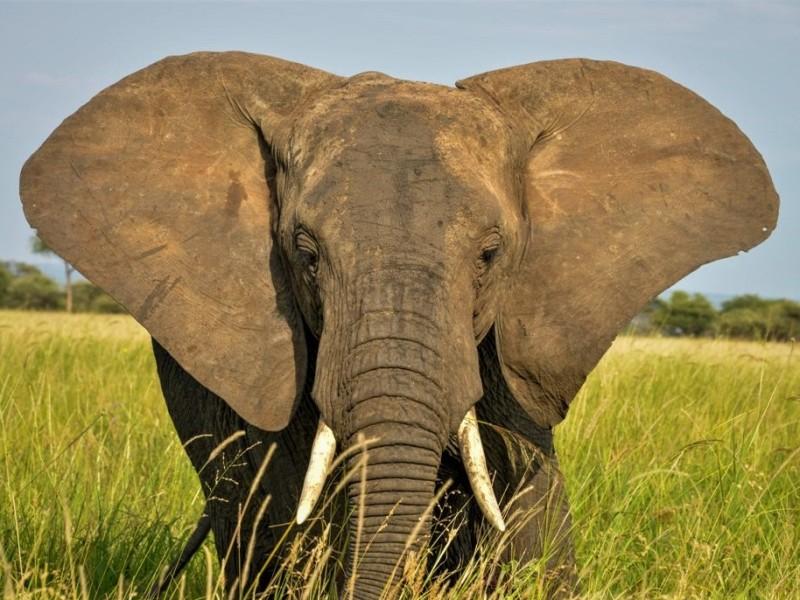 Safari vakantie in Tanzania Olifant