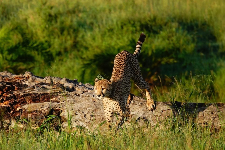 Cheeta Serengeti