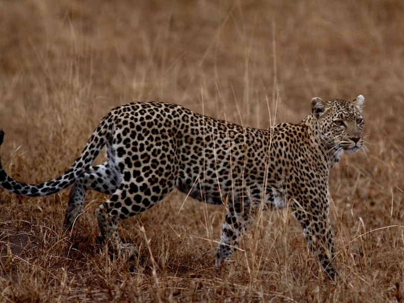 Tanzania Safari Vakantie Luipaard in Serengeti