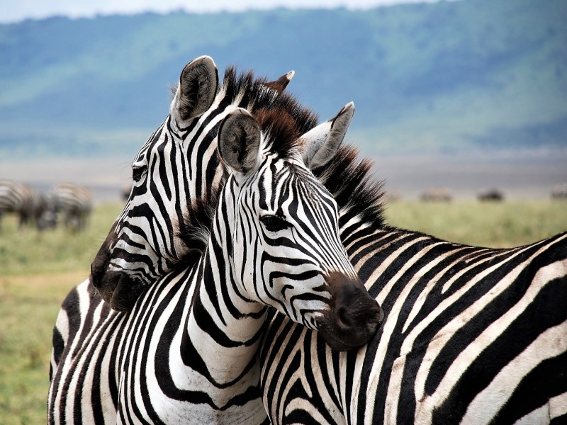 Safari Tanzania Vakantie Zebra
