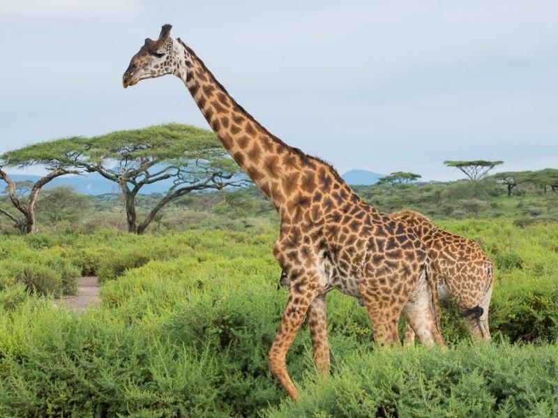 Tanzania Safari Zanzibar Vakantie Giraffe