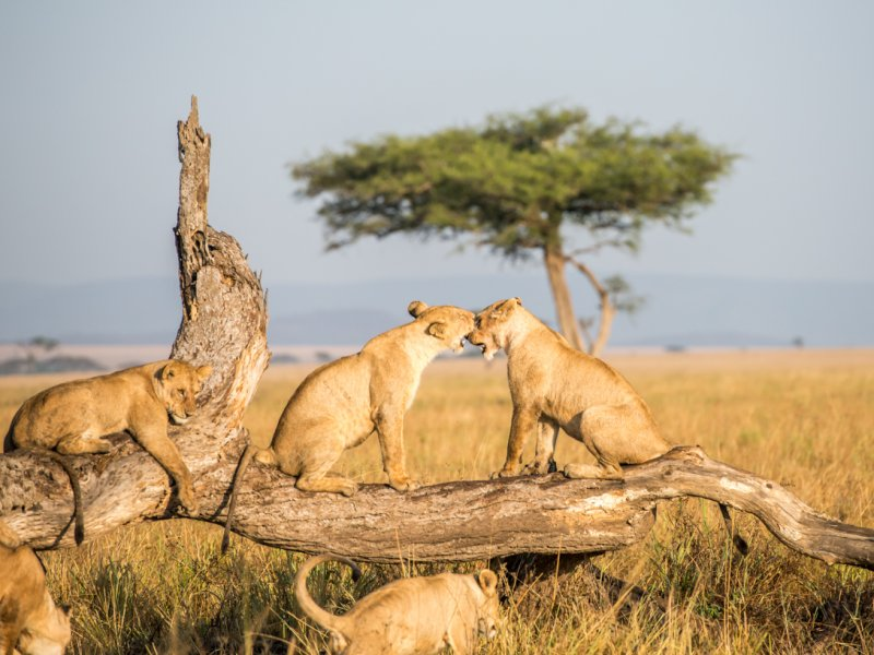 Leeuwen bekijken in Tanzania