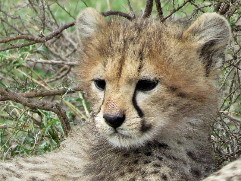 Baby cheetah's spotten