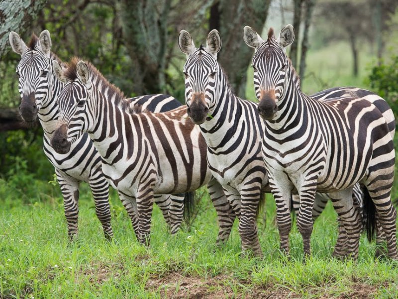 Zebra's kijken in Tanzania