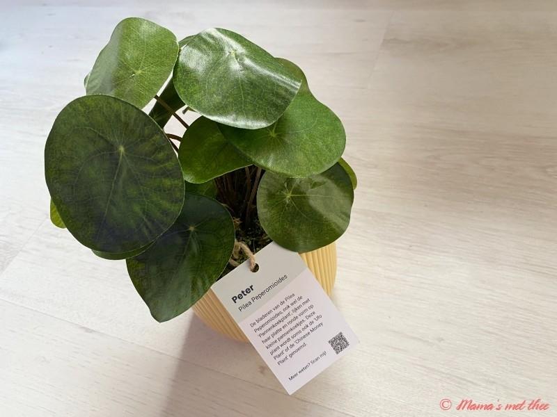 Pannenkoekenplant_florafy