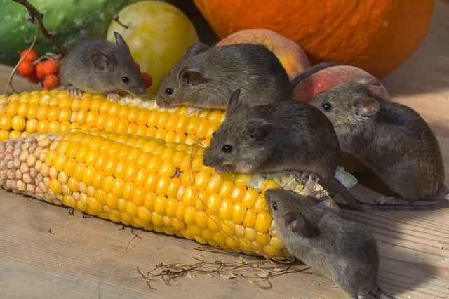 Dode muizen geur verwijderen
