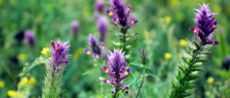 Astragalus: een stress regulator en maakt je bestand tegen stressprikkels