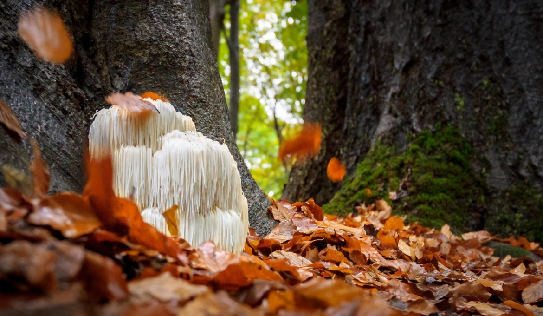 Lion's mane in het bos als paddenstoel