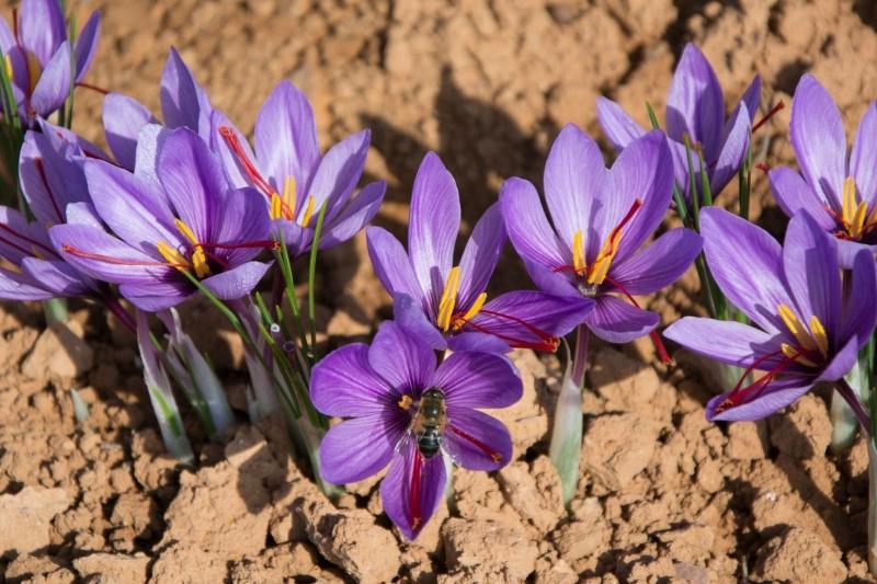 saffraan-bloemen-in-grond-min