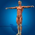 anatomie massagetherapeut