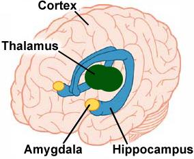 Brein amygdala