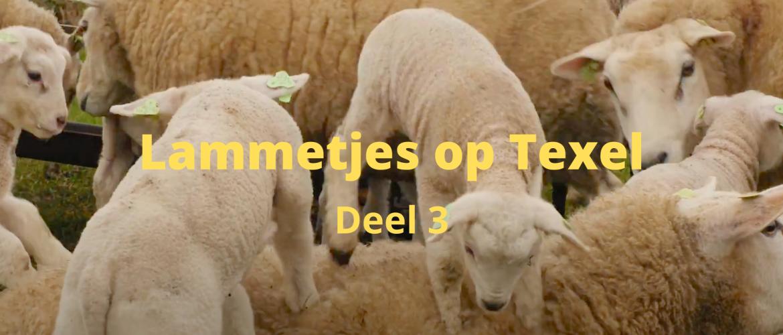 Lammetjes op Texel - deel 3