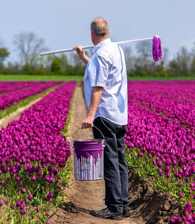 tulpen paars MijnVakantiehuisJouwVakantiehuis.nl