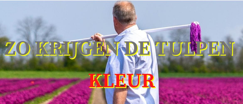 Zo krijgen de tulpen kleur
