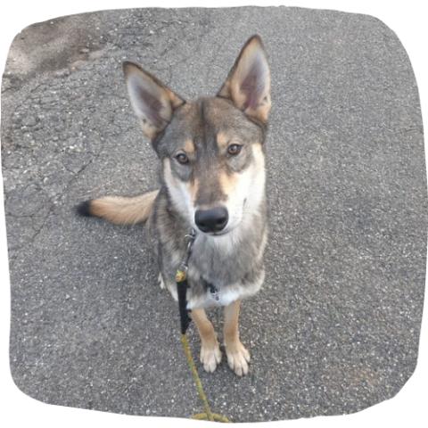 hondenschool hondentraining American Indian Dog