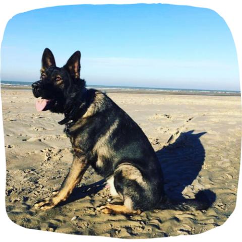 interne hondenschool hondentraining duitse herder