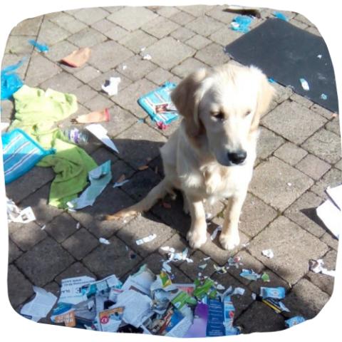 training prive hondenschool golden retriever