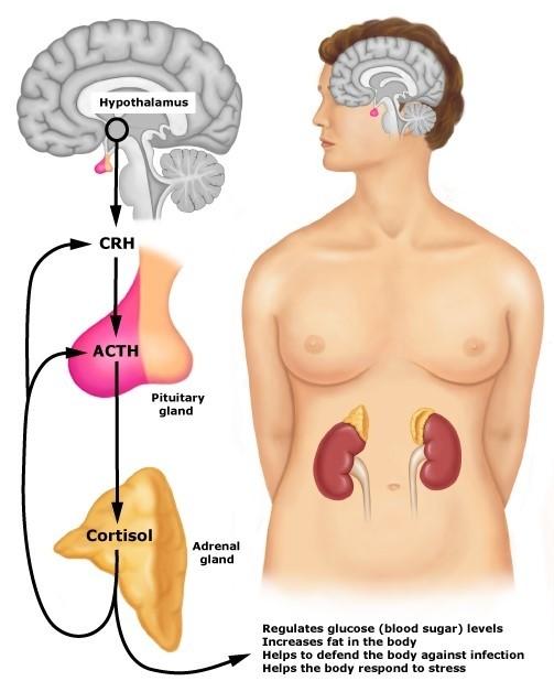 Werking cortisol