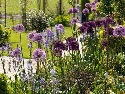 paarse bloembollen in de tuin