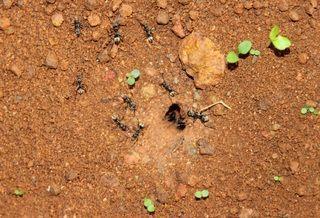 Mierenpoeder werkt niet
