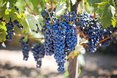 waarom druiven snoeien