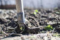 hortensia verplanten verplaatsen