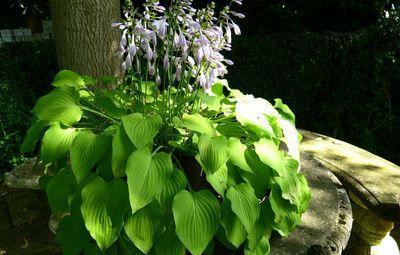 hosta zuurminnende plant