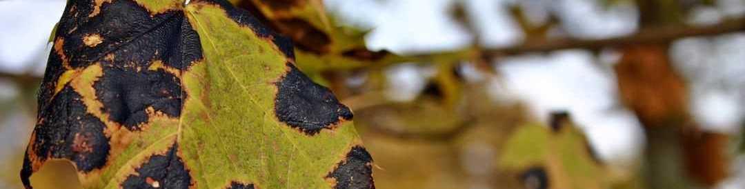 bladvlekkenziekte gras bestrijden