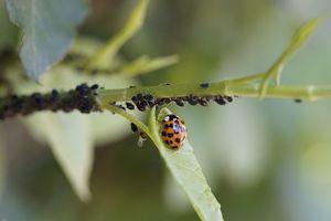 bladluizen bestrijden met lieveheersbeestjes