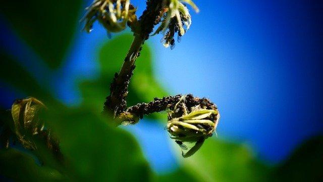 larven van lieveheersbeestjes tegen bladluis
