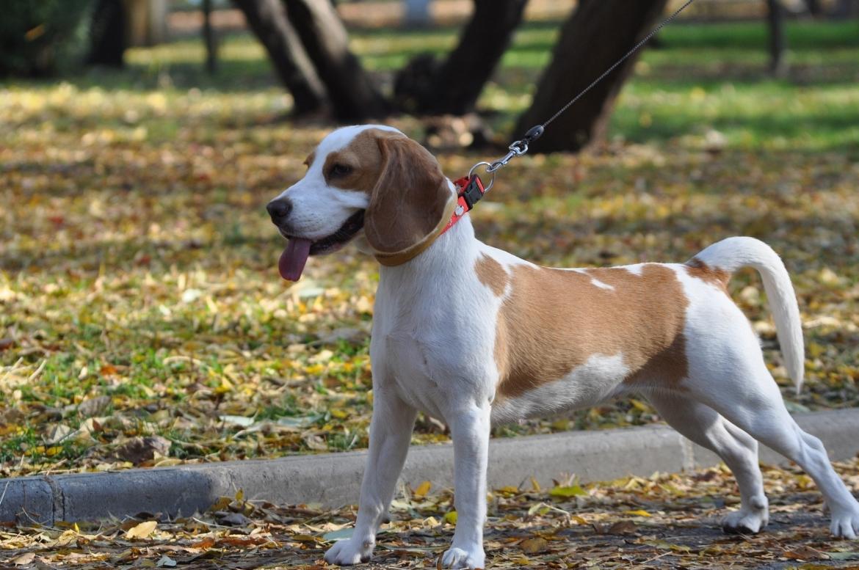 beagle blaft