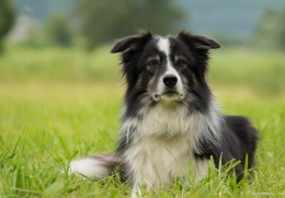 border collie in het gras