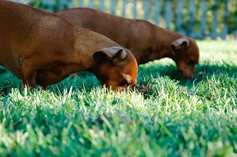 hond eet uit gras