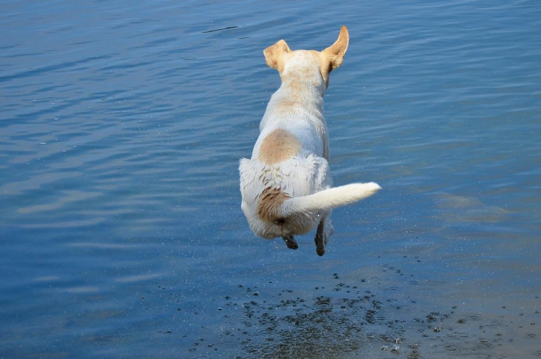 hond springt in het diepe