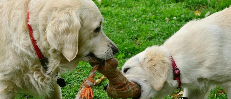 honden samen spelen