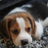 kleine beagle