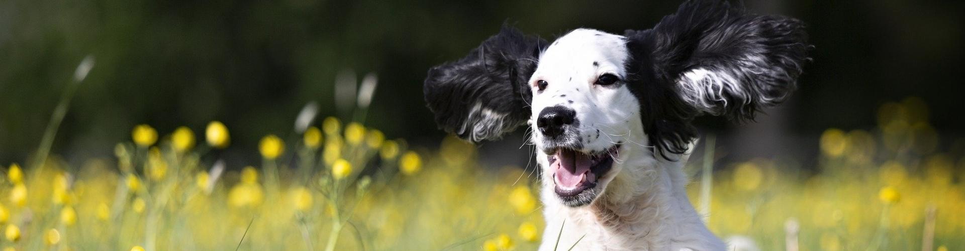rennende hond in veld