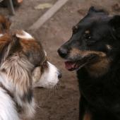 twee honden blaffen