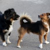 twee honden grommen
