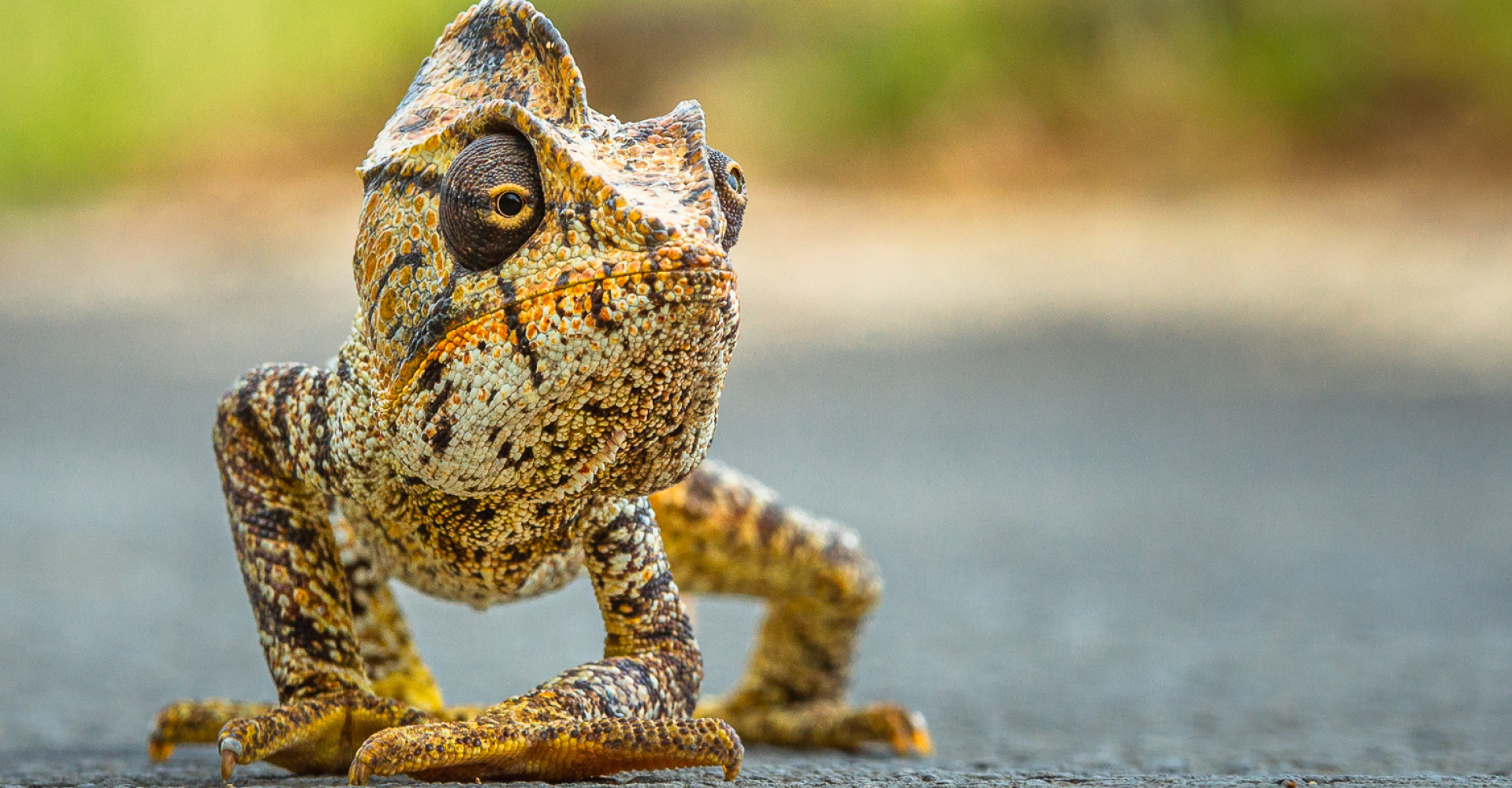 Award-winning chameleon photo captured in Madagascar